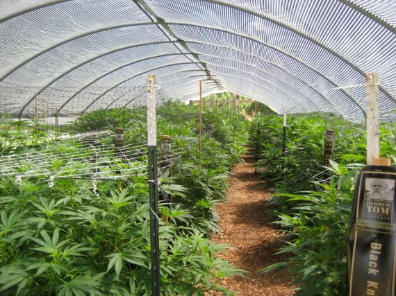 Farmer Toms's cannabis garden