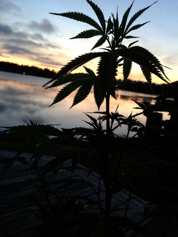 Weed Sunrise